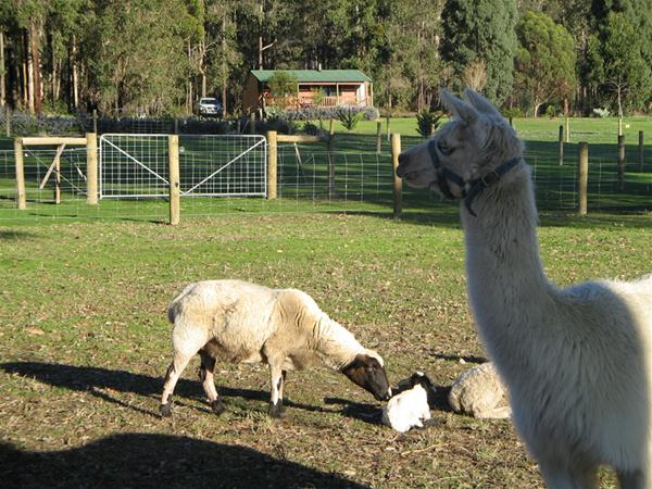 Danny the Alpaca