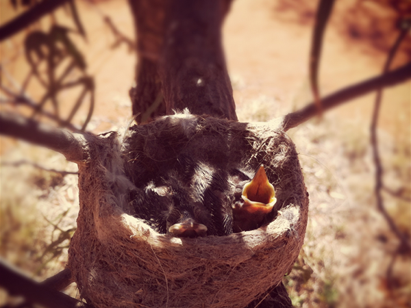 Baby Birds at Wooleen Station