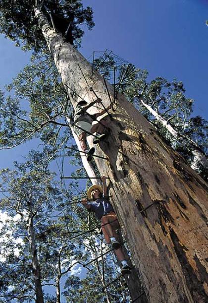 Bicentennial Tree Manjimup