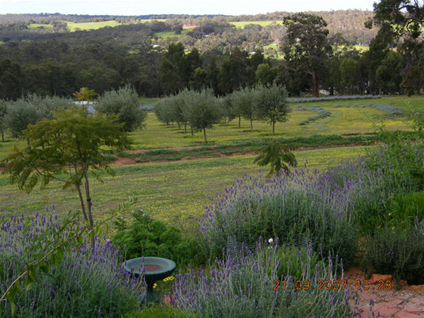 View of Olives and Lavender