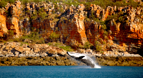 A female humpback whale breaches alongside Wilson Point in Camden Sound.