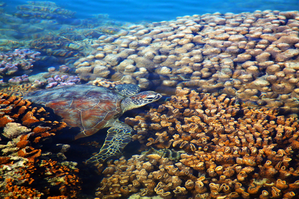 A Turtle in the shallows of Turtle Reef