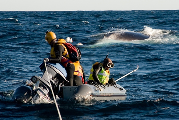 Whale rescue team try to free an entangled whale
