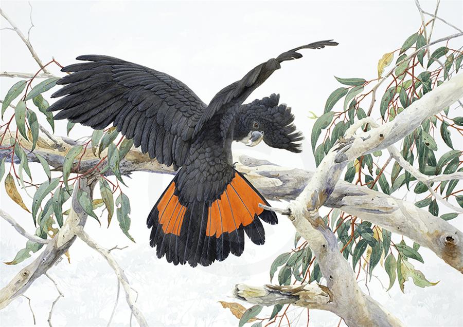 Flash Landing- Red-tailed Black Cockatoo