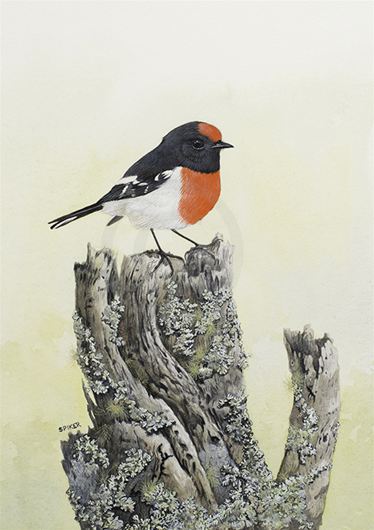 Red-capped Robin on an old Mulga stump