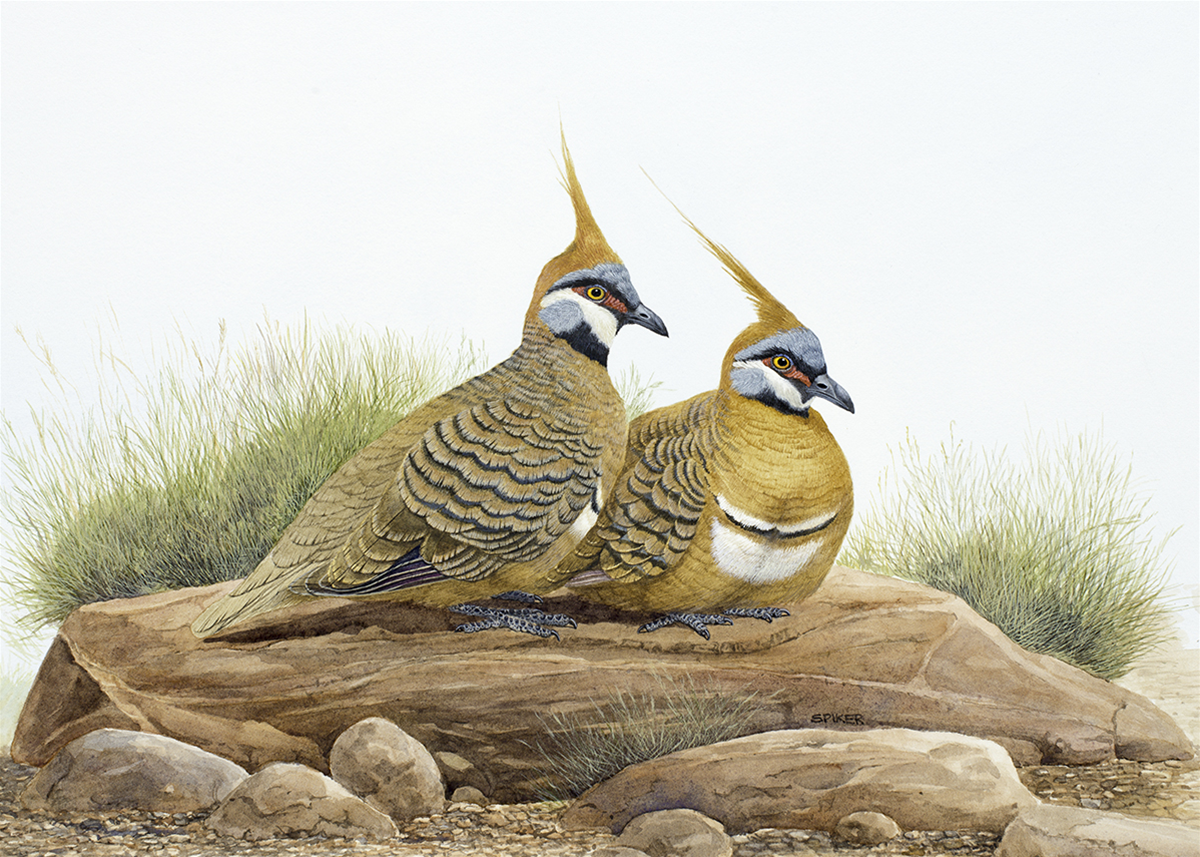 Spinifex Pigeons Slumbering on a rock- as they do