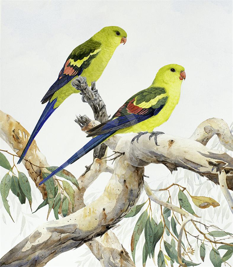 Regent Parrots- sunning on a Wandoo branch