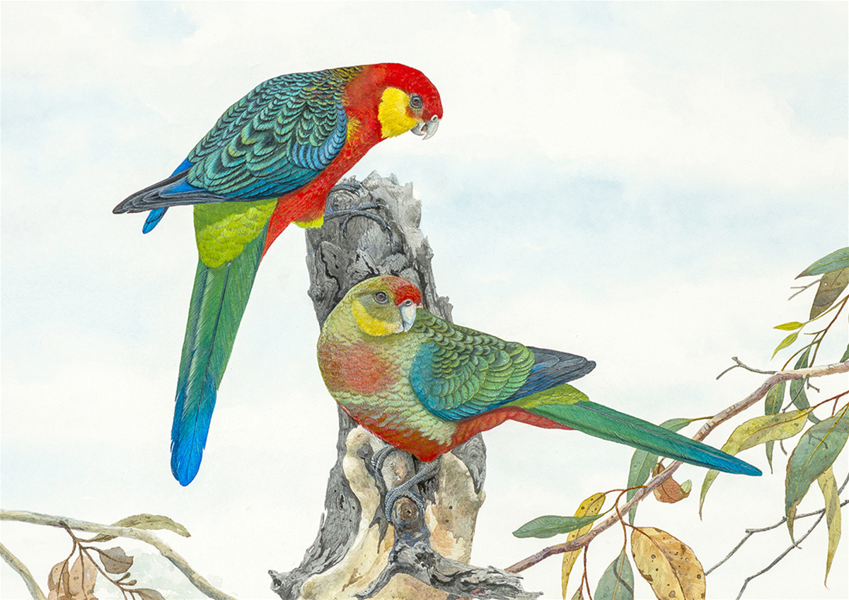 Western Rosellas on a Glorious Day