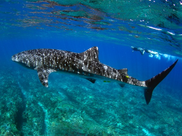 Book a tour to swim with the famous whale sharks of Ningaloo Reef.