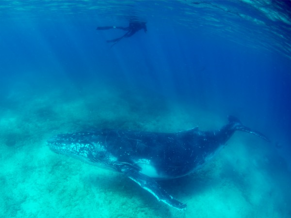New in 2016, swim with Ningaloo humpback whales! Tours will begin in August 2016.