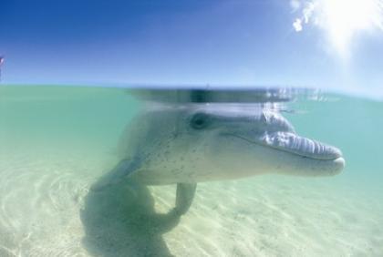 Dolphin @ Shark Bay