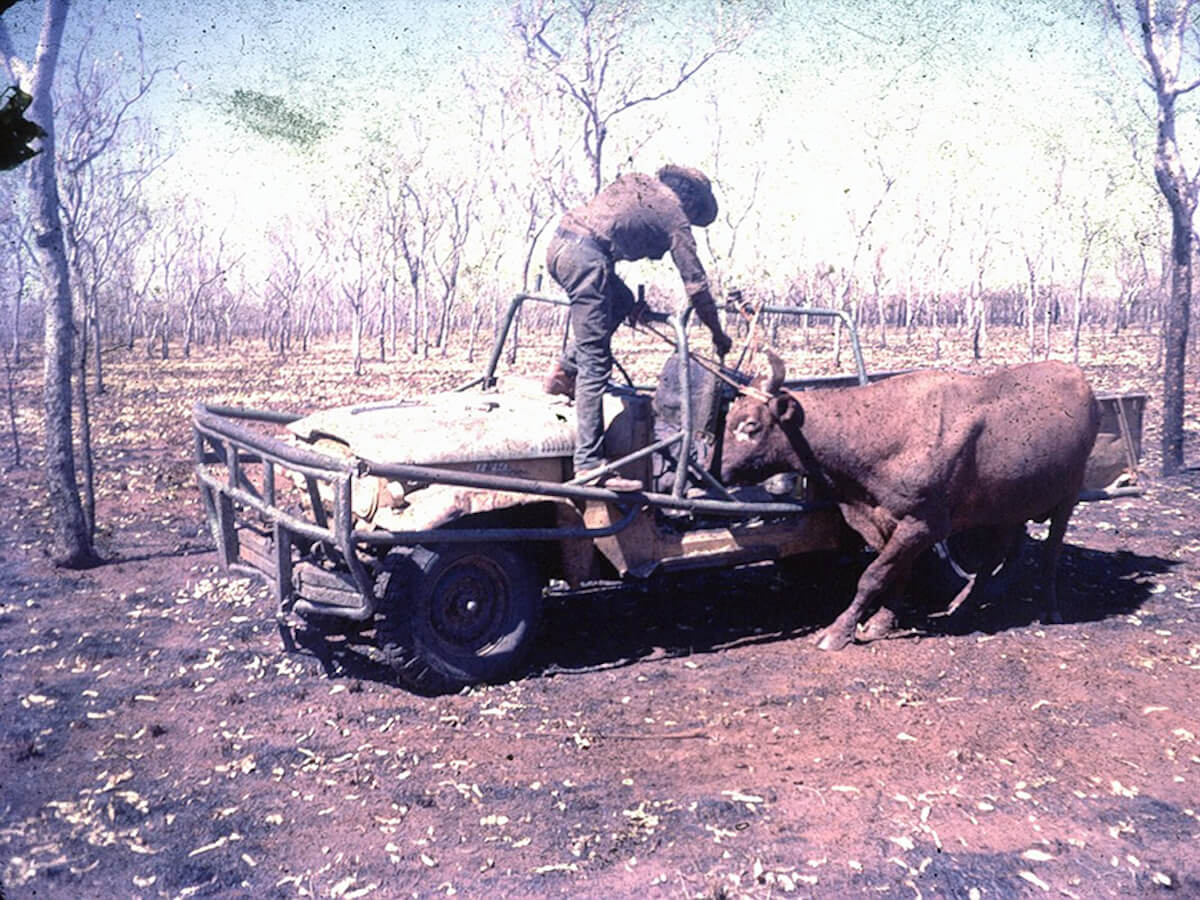 Image: Bull Catching, Colin Russ Collection, c. 1980s