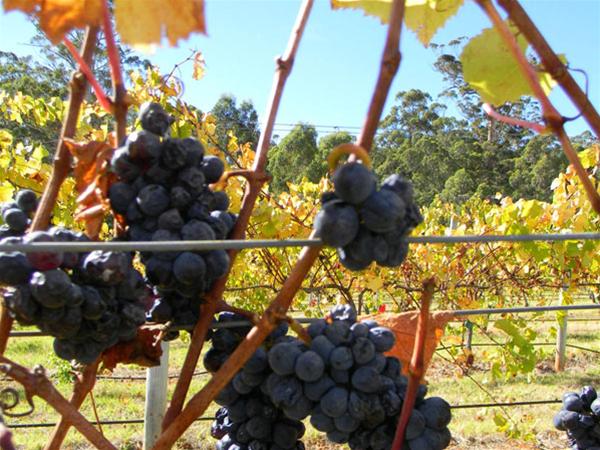 St Johns Brook Vines
