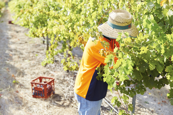 Harvey River Estate vineyard