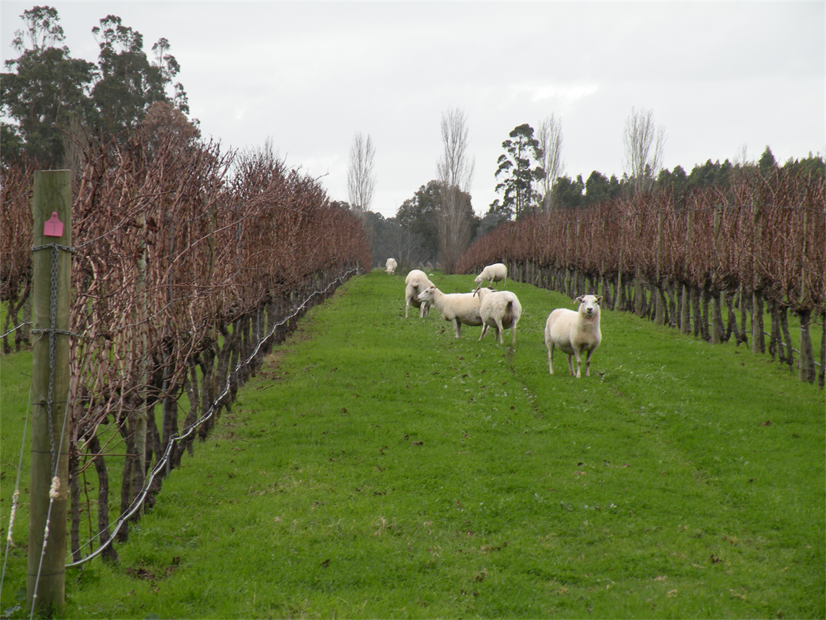 Our Wiltshire sheep amongst the vines